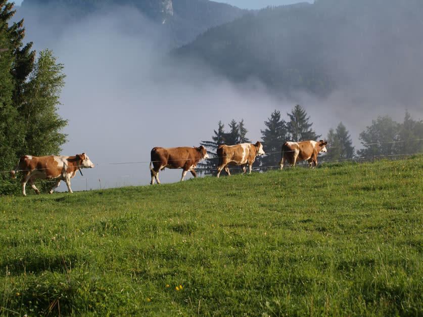 """Kühe auf dem Weg zur """"Fütterung""""!"""
