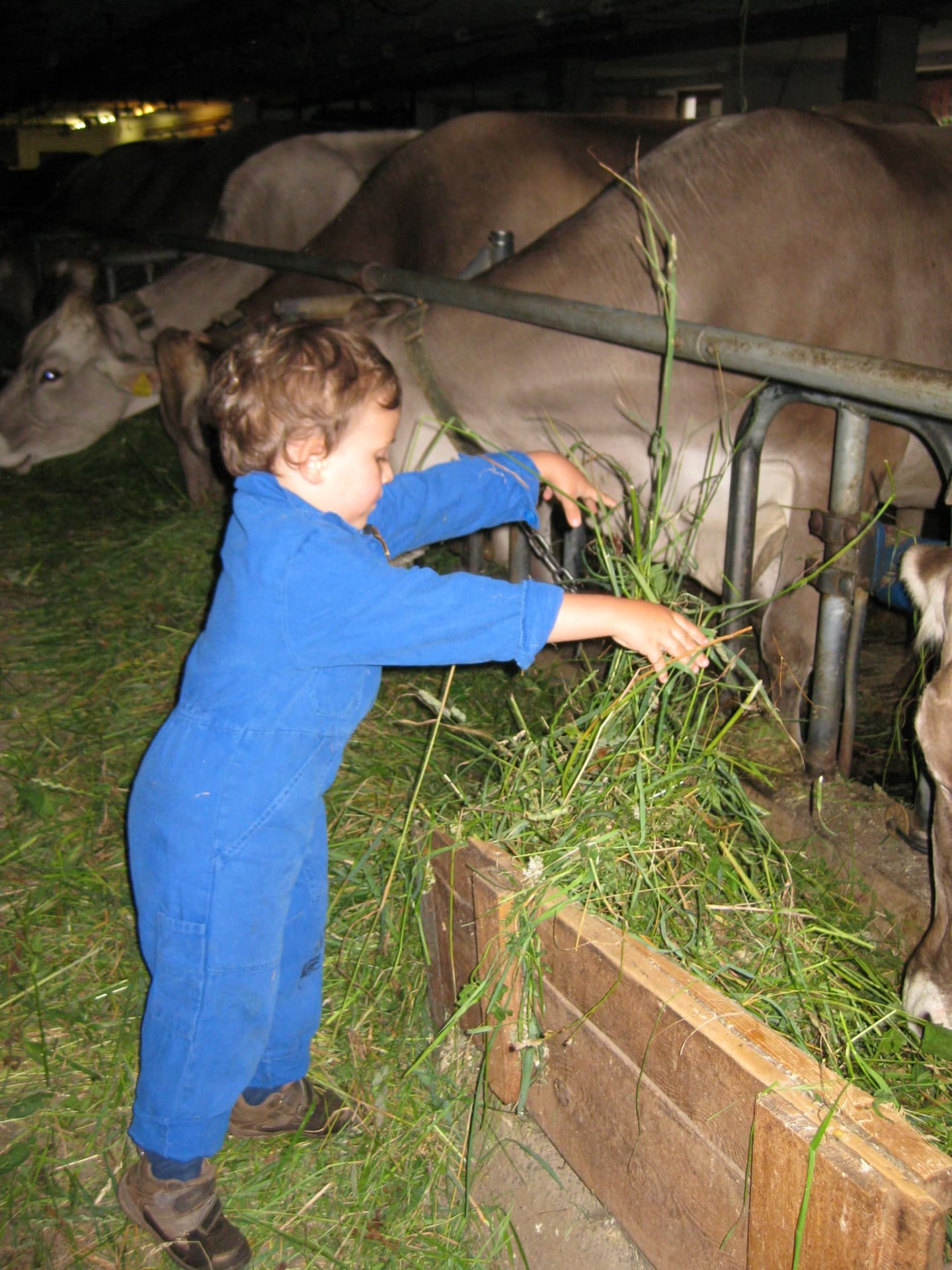 Die Kühe haben hunger