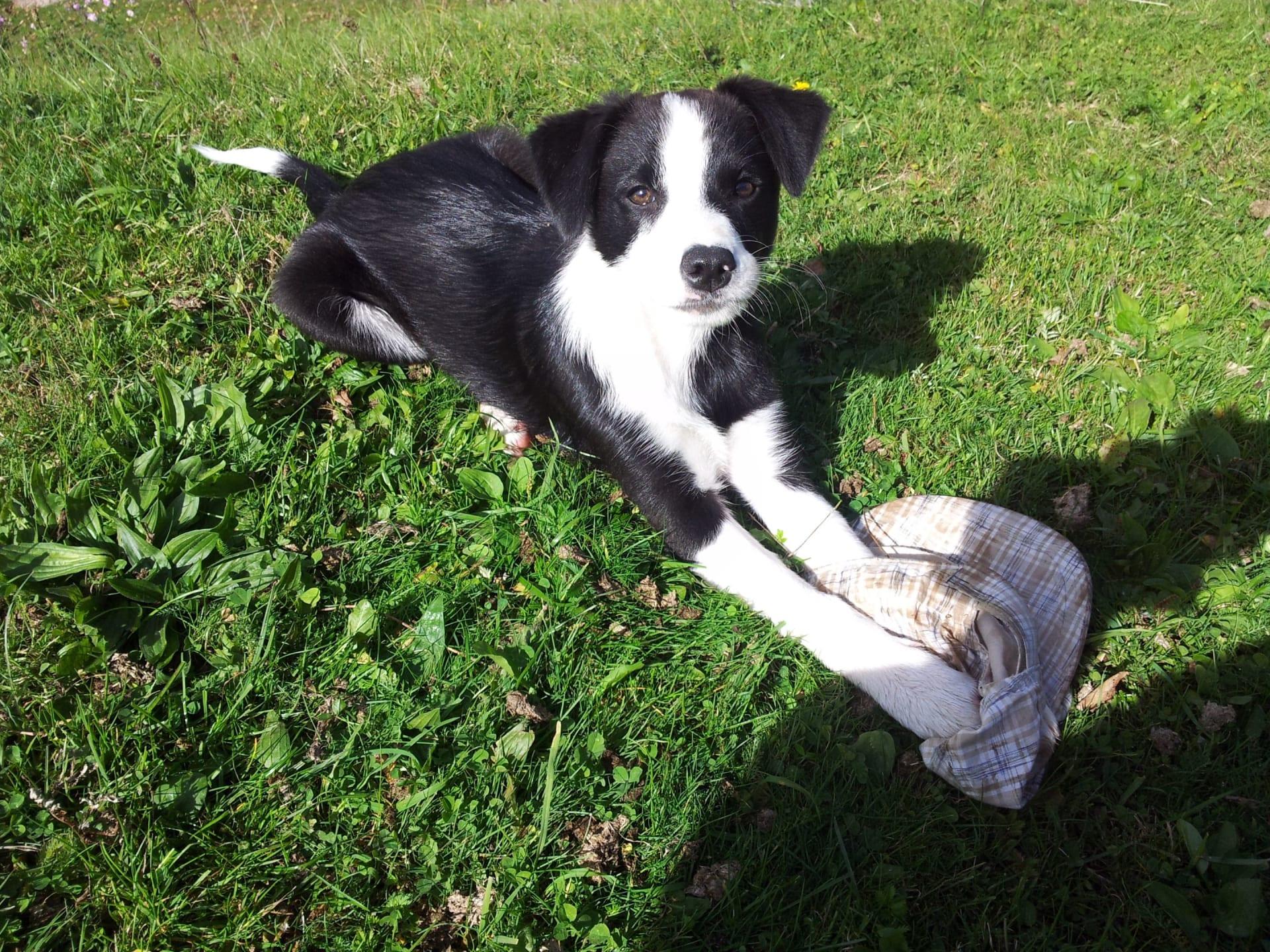 Hund Maia