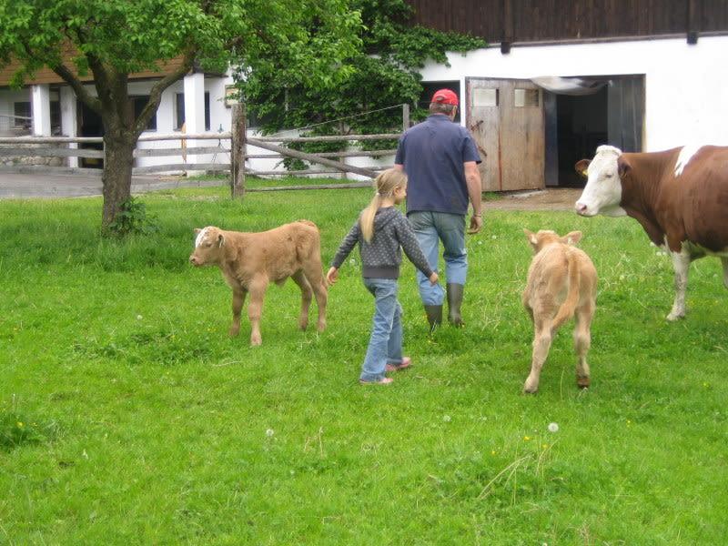 Glückliche Kühe und Kälber sind das ganze Jahr am Kristemoarhof