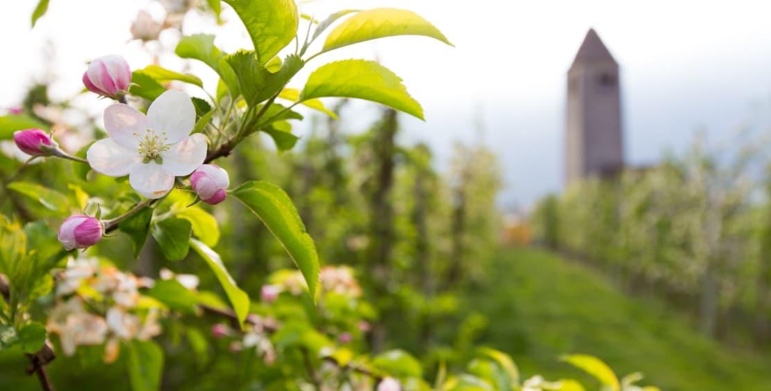 Settimana dei meli in fiore