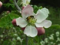 ein fleissige Biene