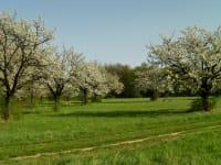 Kirschblüte am