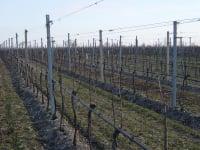 Rebschnitt im Weingarten