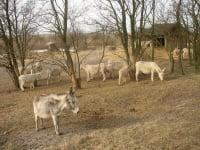 weiße Esel im Nationalpark