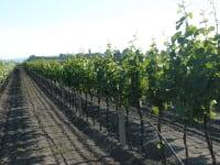 Unser Weingarten direkt neben der Zicklacke