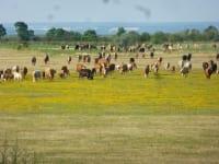 Rinderherde mit Hirten..direkt vor der Terrasse