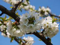 Malehof - Kirschblüten im Frühling