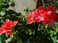 Malehof - Pelargonie