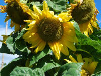 Malehof -Sonnenblumen