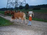 Malehof - unsere Kühe