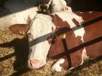 Malehof - ...unsere Kühe im Laufstall