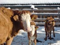 Unsere Kühe genießen ein Sonnenbad