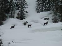Photopirsch Gemsen im Winter