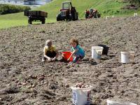 Auch die Kleinen helfen bei der Kartoffelernte....