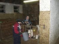 Kalb wird mit frischer Milch versorgt