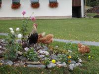 Hahn mit Hühner