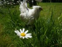 glückliches Huhn
