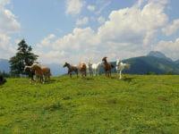 Pferde auf der Lackenalm