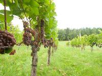 Unser kleiner Weingarten