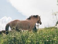 unser Pferd -LISI