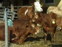 Stier mit Kuh und Kälber