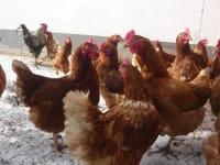 Hühnergeschnatter