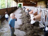 Kühe im Stall füttern helfen