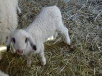 Oskar unser kleinstes Lamm