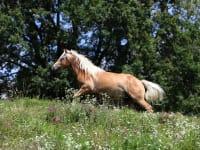 Pferd Belmondo liebt seine Weide