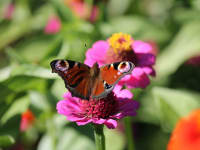 Schmetterling in unserem Garten