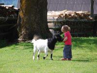 Die Ziegen mit Ziegenbock Franziska