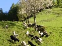 Bei einem Besuch am Hof erwarten Sie im Frühling viele Lämmer