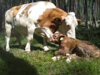 Geburt Kalb