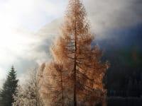 Lärche im Herbstlicht