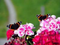 Schmetterlings-Schönheiten