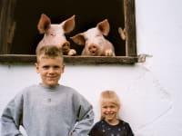 neugierige Schweine mit Kinder