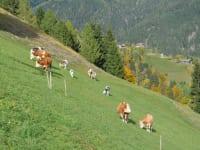 Unsere Kühe werden im Juni auf die Hochalm aufgetrieben und kommen im September wieder nach Hause