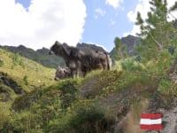Die kühe beobachten die Wanderer