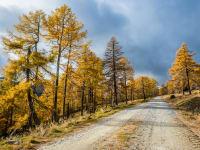 Lärchen im Herbstgold