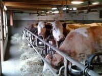 Neugierig erwartet unsere Kuhherde jeden Besuch!