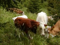 Unser Vieh auf der Alm