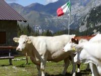 Unsere Kühe in Italien