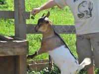 Ziegenfütterung im Streichelzoo