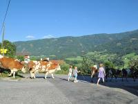 Kühe treiben