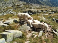 Schafe auf Hochalm