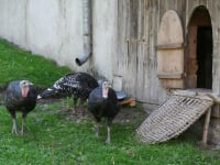 Truthühner