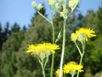 Wildpflanze
