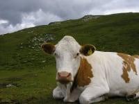 ...Lust unsere Kühe auf Alm zu besuchen???