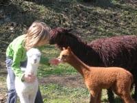 Alpakas am Familienanwesen